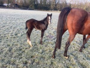 Colt-by-Havanna-Grey-Hedgeholme-Stud